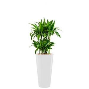 Deluxe All in 1 Hydrocultuur Dracaena arturo rond wit