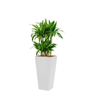 Deluxe All in 1 Hydrocultuur Dracaena arturo vierkant wit
