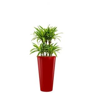Deluxe All in 1 Hydrocultuur Dracaena lemon lime rond rood