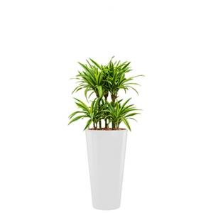 Deluxe All in 1 Hydrocultuur Dracaena lemon lime rond wit