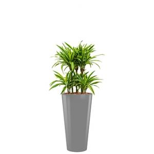 Deluxe All in 1 Hydrocultuur Dracaena lemon lime rond zilver