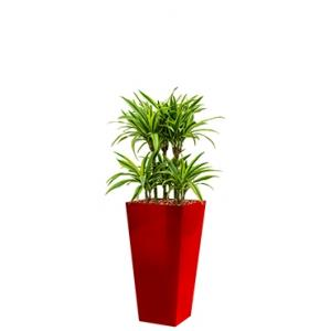 Deluxe All in 1 Hydrocultuur Dracaena lemon lime vierkant rood