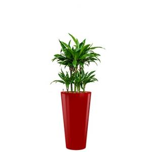 Deluxe All in 1 Hydrocultuur Dracaena janet craig rond rood