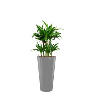 Deluxe All in 1 Hydrocultuur Dracaena janet craig rond zilver