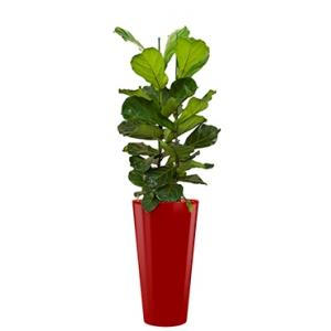 Deluxe All in 1 Hydrocultuur Ficus lyrata rond rood