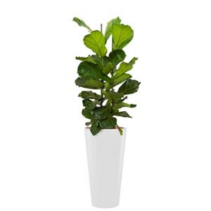 Deluxe All in 1 Hydrocultuur Ficus lyrata rond wit