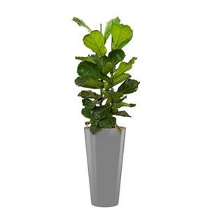 Deluxe All in 1 Hydrocultuur Ficus lyrata rond zilver