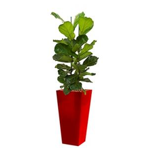 Deluxe All in 1 Hydrocultuur Ficus lyrata vierkant rood