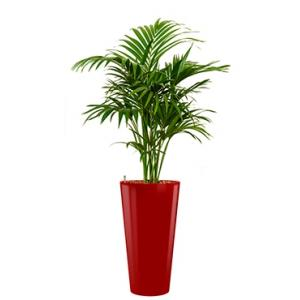 Deluxe All in 1 Hydrocultuur Kentia palm forsteriana rond rood
