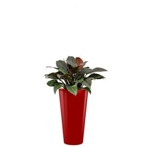 Deluxe All in 1 Hydrocultuur Philodendron imperial red rond rood