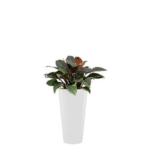Deluxe All in 1 Hydrocultuur Philodendron imperial red rond wit