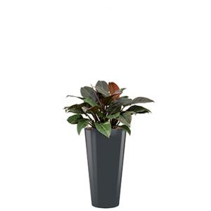 Deluxe All in 1 Hydrocultuur Philodendron imperial red rond antraciet