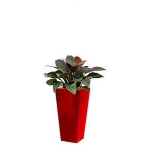 Deluxe All in 1 Hydrocultuur Philodendron imperial red vierkant rood