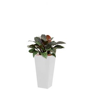 Deluxe All in 1 Hydrocultuur Philodendron imperial red vierkant wit