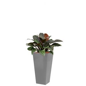 Deluxe All in 1 Hydrocultuur Philodendron imperial red vierkant zilver
