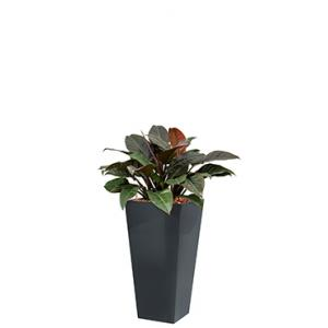 Deluxe All in 1 Hydrocultuur Philodendron imperial red vierkant antraciet