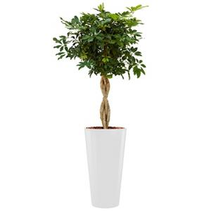 Deluxe All in 1 Hydrocultuur Schefflera arboricola rond wit