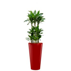 Premium All in 1 Hydrocultuur Dracaena janet lind rond rood