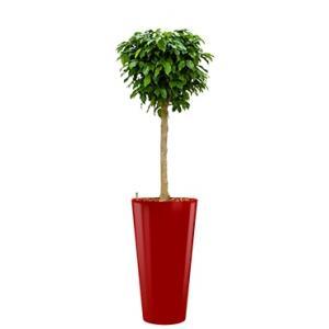 Premium All in 1 Hydrocultuur Ficus benjamina columnar rond rood