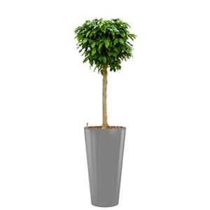 Premium All in 1 Hydrocultuur Ficus benjamina columnar rond zilver