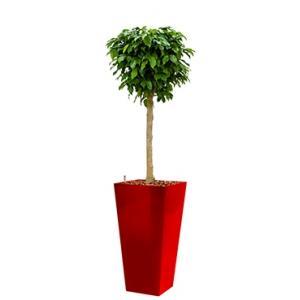 Premium All in 1 Hydrocultuur Ficus benjamina columnar vierkant rood