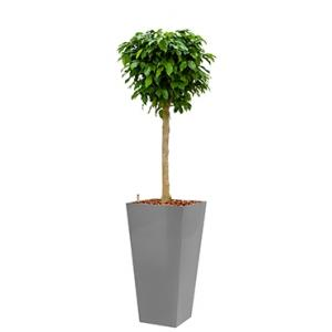 Premium All in 1 Hydrocultuur Ficus benjamina columnar vierkant zilver