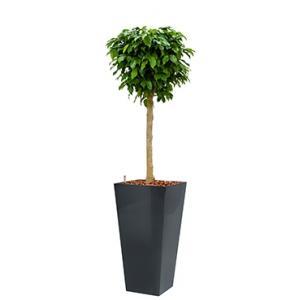 Premium All in 1 Hydrocultuur Ficus benjamina columnar vierkant antraciet