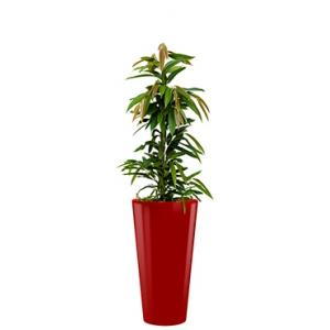 Standard All in 1 Hydrocultuur Ficus amstel rond rood