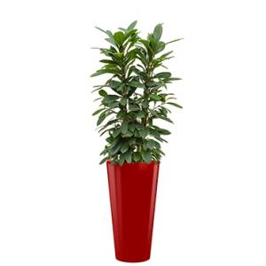Standard All in 1 Hydrocultuur Ficus cyathistipula rond rood