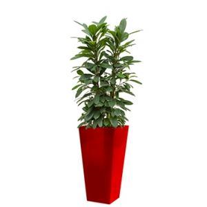 Standard All in 1 Hydrocultuur Ficus cyathistipula vierkant rood