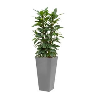Standard All in 1 Hydrocultuur Ficus cyathistipula vierkant zilver