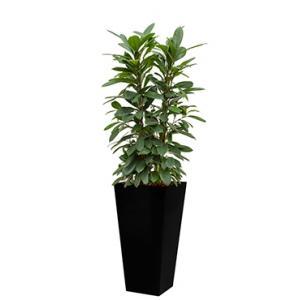 Standard All in 1 Hydrocultuur Ficus cyathistipula vierkant zwart