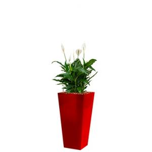 Standard All in 1 Hydrocultuur Spathiphyllum mont blanc vierkant rood
