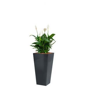 Standard All in 1 Hydrocultuur Spathiphyllum mont blanc vierkant antraciet