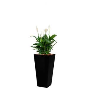 Standard All in 1 Hydrocultuur Spathiphyllum mont blanc vierkant zwart