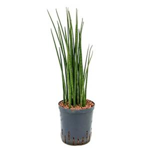 Sansevieria bacularis M hydrocultuur plant