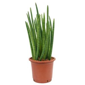 Sansevieria enjoy L kamerplant