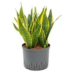Sansevieria futura superba L hydrocultuur plant