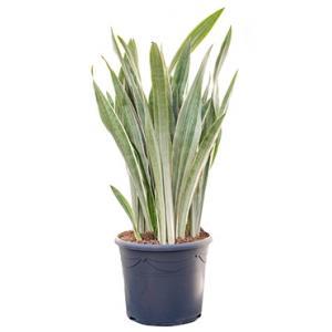 Sansevieria metallica XXL kamerplant
