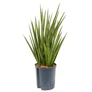 Sansevieria spikes egel M hydrocultuur plant
