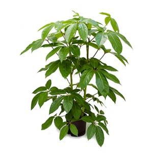 Dagaanbieding - Schefflera amate L hydrocultuur plant dagelijkse aanbiedingen