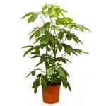 Schefflera amate L kamerplant