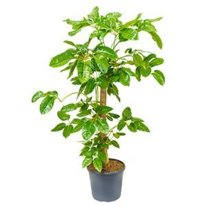 Schefflera amate stam kamerplant
