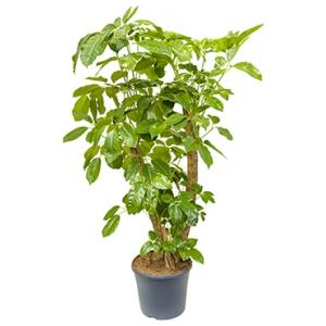 Schefflera amate XL kamerplant
