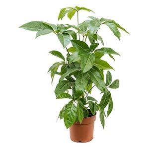 Schefflera amate XS kamerplant