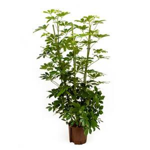 Schefflera arboricola 4pp hydrocultuur plant