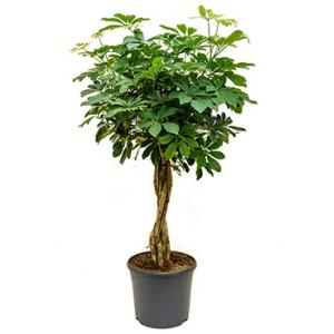 Schefflera arboricola gevlochten kamerplant
