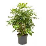Schefflera arboricola vertakt S kamerplant
