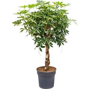 Schefflera arboricola stam kamerplant