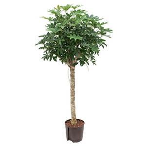 Schefflera arboricola stam M hydrocultuur plant
